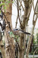 Jay stealing tit's food (Garrulus glandarius) (Arne Kuilman) Tags: garrulusglandarius gaai slim tuin garden 200mm bird vogel seeds food smart eurasianjay corvidae aves