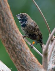 JacarinaGors (Borreltje.com) Tags: gors jacarina jacarinagors vogel birs vogels birds burgerszoo mangrove belise nice beautiful cute