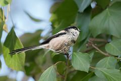 Orite à longue queue (Pauline Moinereau) Tags: aegithalidae aegithaloscaudatus bird longtailedtit oiseau passereau passerine oriteàlonguequeue mésangeàlonguequeue passériformes aegithalidés