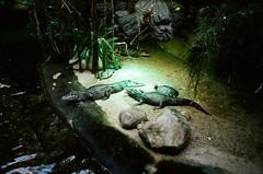 Berlin (iampaulrus) Tags: berlin germany mjuii olympusmjuii lomography portra kodak film filmphotography analog analogue 35mm 35mmfilmphotography film35mm crocodile