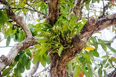 Brassia sp in situ, in full bloom (I need a good mistake...) Tags: brassia orchidee orchid orchidaceae insitu orchidinsitu