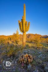 Cactus Sunrise #504 (DBruner240) Tags: cactus flowers sunrise arizona az desert blooming