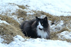 BobKatt (KvikneFoto) Tags: katt cat bobkatt snø snow winter vinter