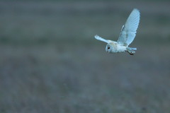 DSC04236 - Barn Owl (steve R J) Tags: barn owl wallasea island rspb reserve essex birds british