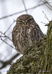 Little Owl (Athene noctua) (Jud's Photography) Tags: littleowl athenenoctua owl bird birdofprey uk