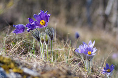 90/365 (misa_metz) Tags: nikon nature naturephotography photo photography flower flowers forest colors color pulsatilla blue outdoor tokina lights spring plant