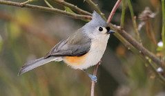 Tufted Titmouse (wvsawwhet) Tags: westvirginia wv westvirginiabirds wildlife winter bird birding birds birdwatching birdsofwestvirginia marioncounty tufted tuftedtitmouse