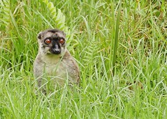 Brown Lemur Popping Up From the Long Grass (Susan Roehl) Tags: madagascar2017 islandofmadagascar offtheeastcoastofafrica andasibemantadianationalpark commonbrownlemur eulemarfulvus primate animal mammal endangeredlist lemuridaefamily dietconsistsprimarilyoffruits youngleaves flowers invertebrates cicadas spiders millipedes bark sap soilandredclay varietyofforesttypes lowlandrainforests montanerainforests moistevergreenforests drydeciduousforests groupsof5to12 nodiscernibledominance activeduringday sueroehl photographictours naturalexposures panasonic lumixdmcgh4 100400mmlens handheld slightlycropped tree wood ngc coth5