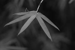 Sumi-e (bamboosage) Tags: mc jupiter 9 285 preset m42 russia