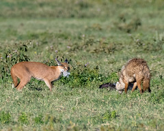 Caracal vs. Golden jackal. (Mark Vukovich) Tags: caracal golden jackal stork abdims cat mammal bird fight ngorongoro crater tanzania