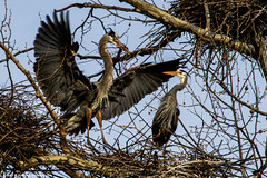 2019.03.24.7201 OK, You Got More Twigs; Now Settle Down! (Brunswick Forge) Tags: 2019 virginia grouped alleghanycounty mountains tree trees woods forest bird birds gbh herons greatblueheron animal animals animalportraits outdoor outdoors wildlife nature sky air spring evening dusk clear nikond500 nikkor200500mm favorited commented