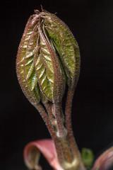 Unfolding, Pt. 2 - _TNY_8869 (In Explore 25/1  2019) (Calle Söderberg) Tags: macro canon canoneos5dmarkii canon5dmkii canonef100mmf28usmmacro canon5dmarkii 5d2 flash meike mk300 glassdiffusor raynox dcr250 blackbackground rönn rowan sorbus aucuparia bud unopened leaf leafs f27 folded explored inexplore