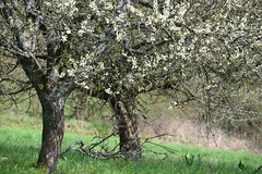 Arbres vieillissant (Excalibur67) Tags: nikon d750 sigma globalvision contemporary 100400f563dgoshsmc arbres trees flowers fleurs floraison paysage printemps spring frühling nature landscape