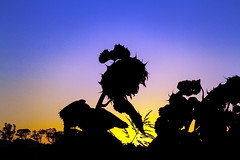 Allora Silhouettes-2 (Sterling67) Tags: sunflower morning sunrise queensland colour plant layers silhouette 2470 7d