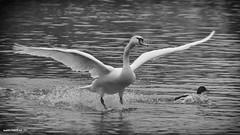 Landing on the watre (malioli) Tags: blackandwhite baw bw monochrome river water flying bird animal swan korana karlovac croatia hrvatska europe action canon
