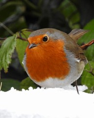 Robin (LouisaHocking) Tags: wild wildlife cyfarthfapark nature southwales wales merthyr bird british winter cold ice garden robin snow