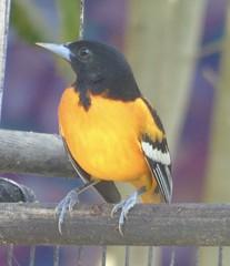 Baltimore Oriole 3 (Malhen227) Tags: birds costarica oriole