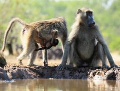 Mum and baby baboon at the waterhole - Mashatu – Botswana (lotusblancphotography) Tags: africa afrique botswana mashatu nature wildlife safari baboon faune animal babouin