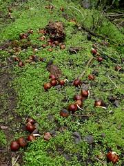 Almost every buckeye nut is sprouting a root after all the rain. (openspacer) Tags: aesculus buckeye jasperridgebiologicalpreserve jrbp nut root sapindaceae trail
