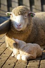 spring (Daantje1704) Tags: animal sheep lamb spring newborn springfever farmanimal mother love baby nature farm ewe netherlands