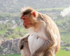 IMG_3792ScreenSaver (johnlandonphotography) Tags: animal india2012 mammals monkey monkeyprimates nature travel hanmanhalli karnataka india