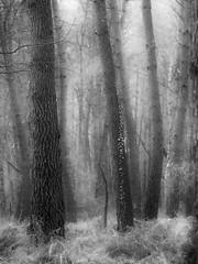Arbres (david49100) Tags: 2019 février maineetloire seichessurleloir arbres bw d5100 nb nikon nikond5100 trees