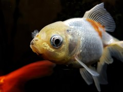 7/52 Love (flailing DORIS) Tags: fish fishtank pet cute fancy goldfish macro face animal aquarium