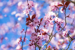 Pink & Blue (s.d.sea) Tags: cherry tree spring flower flowers bloom grow blossom flora floral branch branches pnw pacificnorthwest washington washingtonstate wa pentax k5iis petals outdoors nature plant plants kirkland