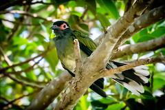 20190214-023a-Hervey Bay-Flickr.jpg (Brian Dean) Tags: torquay slideshow australasianfigbird herveybay facebook 2019tour bird flickr qld