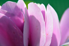 Ciclamini - Cyclamens (giorgiorodano46) Tags: febbraio2019 february 2019 giorgiorodano ciclamini color sfumature controluce backlight contrejour contraluce