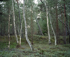 (mariuszlemiecha) Tags: fujigw670iii kodakportra400 epsonv700 analog forest birchtree