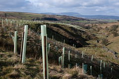 5000 trees at Smithy Clough, Wycoller