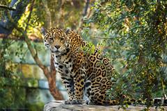 Leopard - Luipaard (schreudermja) Tags: leopard luipaard zoo dierentuin wildlife wild animal beest poes kat pussy kitty cat nikond800e nederland thenetherlands martyschreuder nikon netherlands nature outdoor artis amsterdam