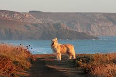 Au bout du monde (BegMeil44) Tags: bretagne crozon morgat lapalue finistère breizh britanny bzh gripik chien hund dog labrit bergerdespyrénées