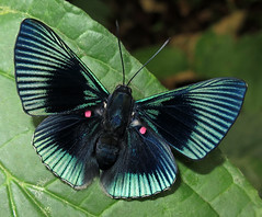Lyropteryx apollonia (Over 5 million views!) Tags: butterfly lyropteryxapollonia peru riodinidae butterflies insect