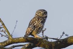 Little Owl (Kentish Plumber) Tags: littleowl athenenoctua owl