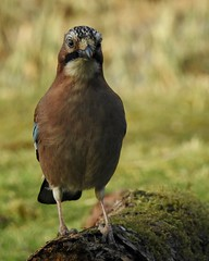 Jay (LouisaHocking) Tags: nature wild wildlife forestfarm southwales wales cardiff british bird jay gardenbird