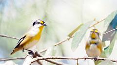 striated pardalotes (lee paqui) Tags: bird australianbird pardalote striatedpardalote