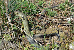 Western Montpellier Snake  (Malpolon monspessulanus) (Sky and Yak) Tags: western montpellier snake malpolon monspessulanus westernmontpelliersnake malpolonmonspessulanus serpent reptile reptilesandamphibians periscope look looking nature naturalworld neck malaga spain europe espagne alert herpetology herp snakesofspain europeansnakes
