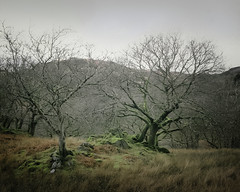 Welsh Woods (gerainte1) Tags: hasselblad501 provia100 film colour woodland trees winter mountains wales snowdonia