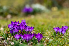 Spring, Frühling (bayernphoto) Tags: fruehling spring krokus crocus gelb blau violett lila blue yellow schneegloeckchen weiss white erste first fruehlingsboten gruen blume flower bloom boden nah muenchen munich bayern bavaria