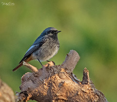 🇪🇸 Black redstart (male) in the evening sun. (vickyouten) Tags: blackredstart nature naturephotography wildlife wildlifeinspain wildlifephotography nikon nikond7200 nikonphotography nikkor55300mm santasusanna barcelona catalonia spain vickyouten
