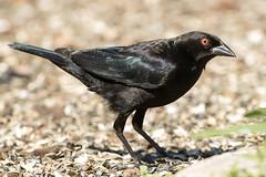 Bronzed Cowbird (female) (Jeremy Meyer) Tags: bronzedcowbird bronzed cowbird blackbird bird florida