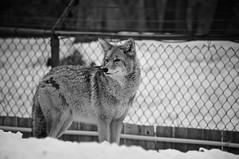 Coyote (bob august) Tags: 2019 2019©rpd'aoust animals animaux bw blackwhite canada coyote d90 fauneanimalière hver march mars montréal nikkor18300mm nikon nikond90 noiretblanc winter zoo zooecomuseum montréal québec aperture3