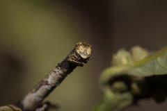 IMG_4430 尺蛾科 Geometridae (vlee1009) Tags: 2019 60d canon march nantou taiwan nature camouflage moths caterpillars