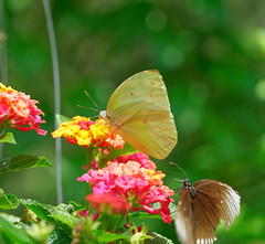 2019-02-11_12-40-41_ILCE-6500_DSC02785_DxO (Miguel Discart (Photos Vrac)) Tags: 156mm 2019 animal animalphotography animals animalsupclose animaux butterfly chiangmai createdbydxo dxo e18135mmf3556oss editedphoto fleurs flowers focallength156mm focallengthin35mmformat156mm holiday ilce6500 iso100 nature naturephotography papillon pet sony sonyilce6500 sonyilce6500e18135mmf3556oss thailand thailande travel vacances voyage
