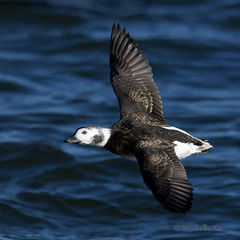 long tailed duck - F (Michelle w.h. Xu) Tags: long tailed duck bird female water lake ontario winter michellexu nature wildlife wildnature wild photographer coth5 live national home geography animal animals