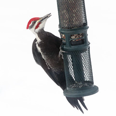 Pileated Woodpecker (square crop) (rgdaniel) Tags: bird birds birdphotography pileated woodpecker