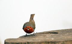 Robin J78A0190 (M0JRA) Tags: robins birds humber ponds lakes people trees fields walks farms traylers