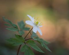 wood anemone (Emma Varley) Tags: woodanemone flower elegant beauty woodlanddancer spring sunshine wild wildflower woods forest march westsussex